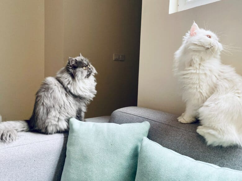 Two fluffy cats sitting on the arm and back of a couch.