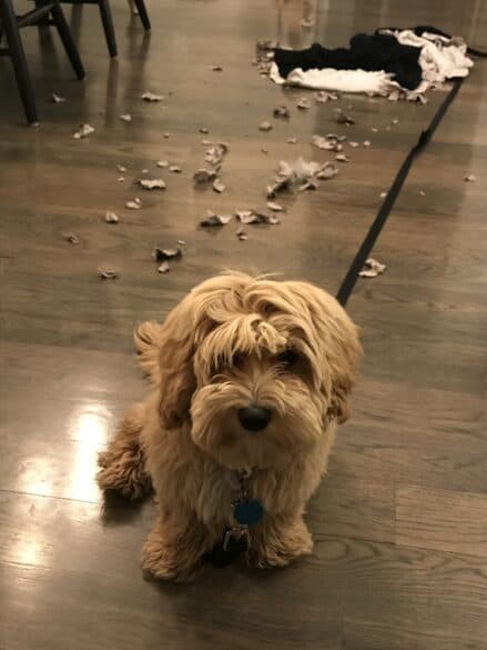 A dog with torn the cardboard he tore up behind him.